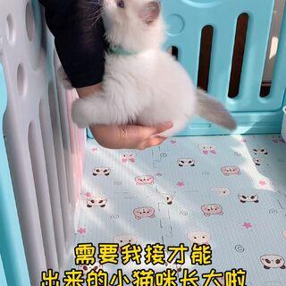 出来就出来吧 小猫咪总要出来见世面的 但睡觉的时候可不可以不踩脸 俗话讲…踩人不踩脸…是这么说的吧??#布偶猫#