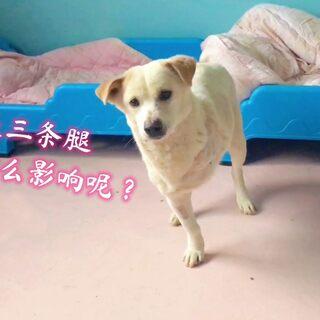 我都学狗叫了,咋逗你不开心呢?断腿小白狗回到基地生活了#中华田园犬##萌宠##狗#