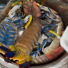 #吃秀吃播##皮皮虾#发个上周的深夜库存??没吃晚饭,直接啃了2只大型皮皮虾,两只下肚,肚子都圆了??这个虾很不错,肉质Q弹有嚼劲儿,不是软塌塌那种,你们喜欢皮皮虾吗???